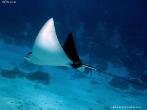 Eagle ray. by Bea &amp; Stef Primatesta 